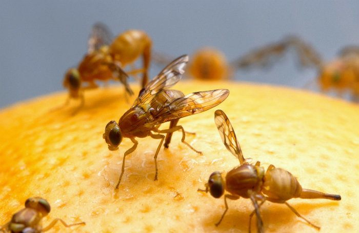 Mexican fruit fly on food